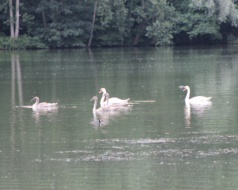 The Swans and Cygnets